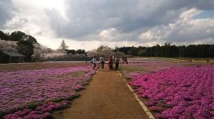 公園園路と芝桜